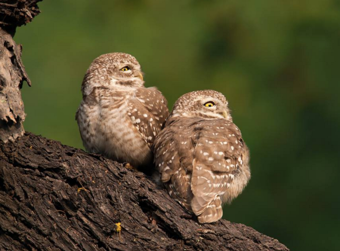 Spotted-owlets by Sudhir Shivaram - La Paz Group