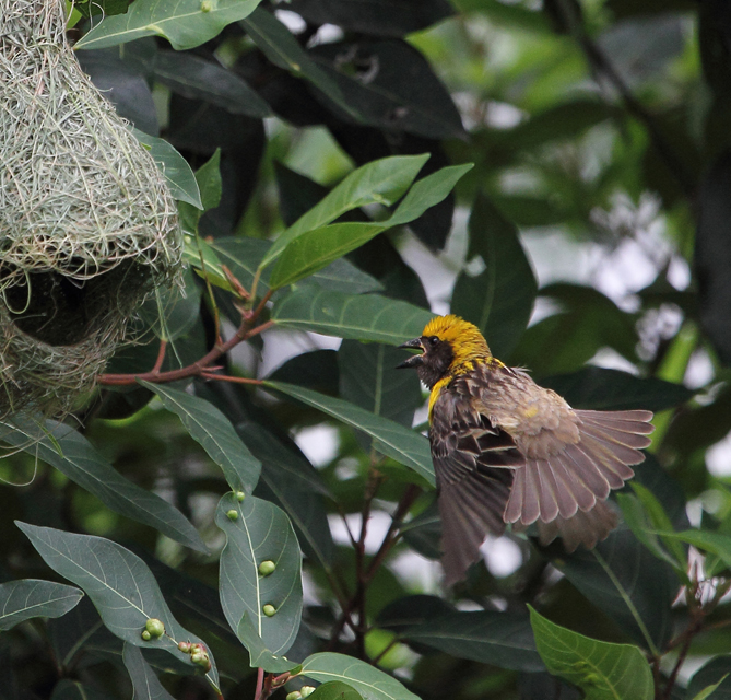 Baya Weaver by Vijaya Kumar - La Paz Group