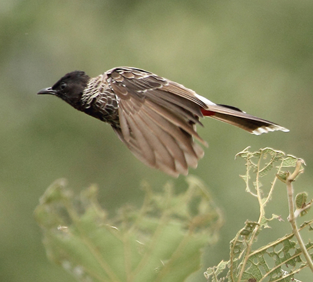 Red-vented Bulbul by Vijaya Kumar - La Paz Group