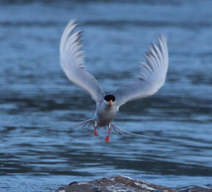 River Tern by S. Vijayakumar - RAXA Collective