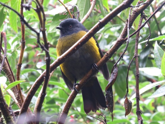 Black-and-yellow Silky-flycatcher by Seth Inman - La Paz Group