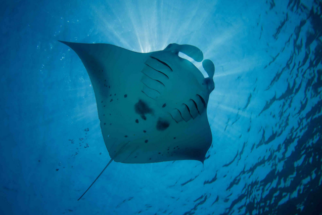 Photo by: Ray Van Eden http://www.kuredu.com/maldives-underwater-world-manta-rays-kuredu/