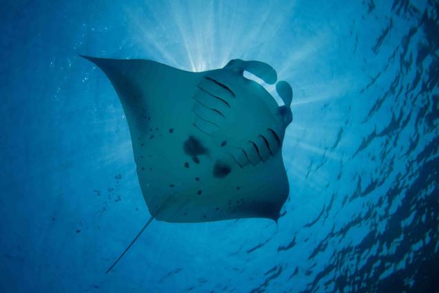 Photo by: Ray Van Eden http://www.kuredu.com/maldives-underwater-world-manta-rays-kuredu/
