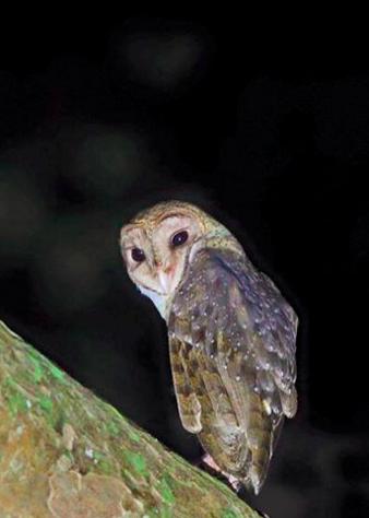 Andaman Barn Owl by Gururaj Moorching - La Paz Group