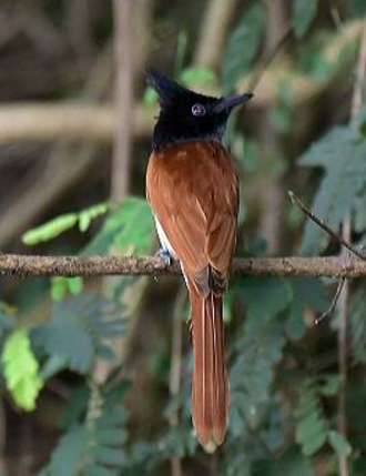 Asian Paradise Flycatcher by Vijaykumar Thondaman - La Paz Group