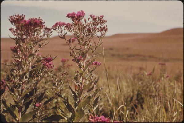 closeup_of_baldwin27s_ironweed2c_a_common_tallgrass_prairie_plant_seen_on_the_konza_prairie2c_12c000_acres_of_virgin-_-_nara_-_557190