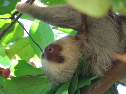 napping Two-toed Sloth