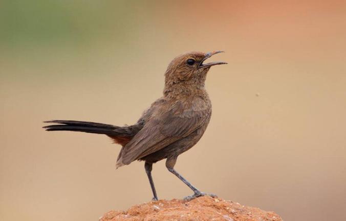 Indian Robin by Gururaj Moorching - La Paz Group