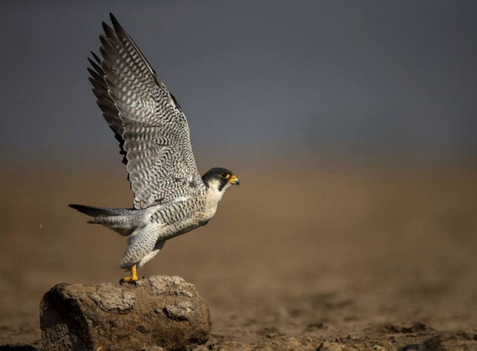 Peregrine falcon by Sudhir Shivaram - La Paz Group