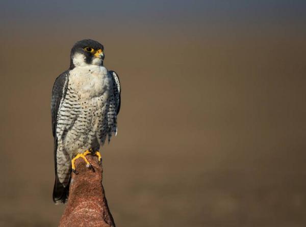 Peregrine Falcon by Sudhir Shivaram - RAXA Collective