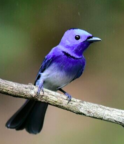 Black-naped monarch by Vijaykumar Thondaman - RAXA Collective