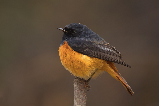 Black Redstart by Sudhir Shivaram - La Paz Group