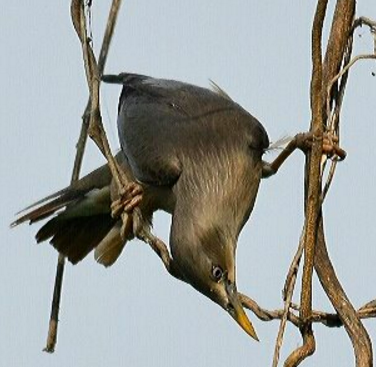 Chestnut-tailed Starling by Vijaykumar Thondaman - La Paz Group