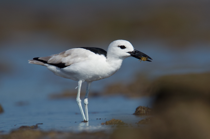 Crab Plover by Sudhir Shivaram - La Paz Group
