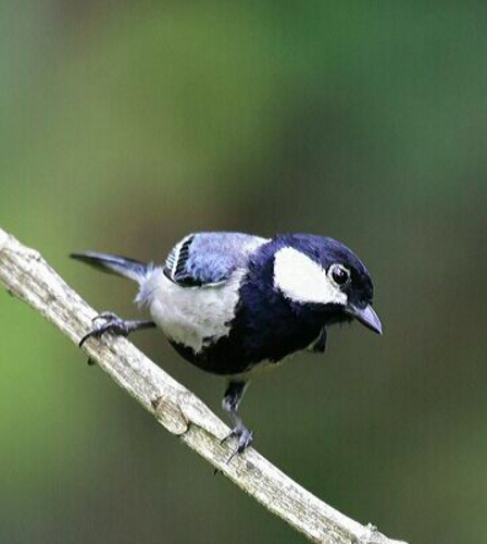 Great Tit by Vijaykumar Thondaman - RAXA Collective
