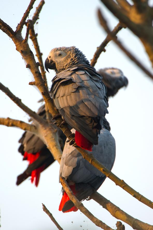 These African Grey parrots were rescued from smugglers and released on Ngamba Island in Lake Victoria. The African Grey parrot is the single most heavily traded wild bird. PHOTO: CHARLES BERGMAN