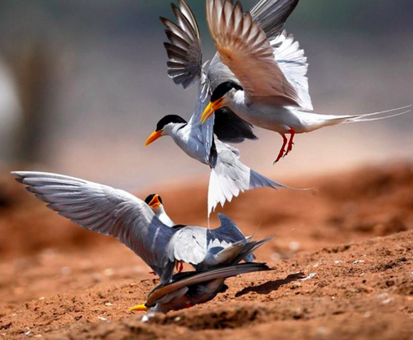 River Terns by Gururaj Moorching - La Paz Group