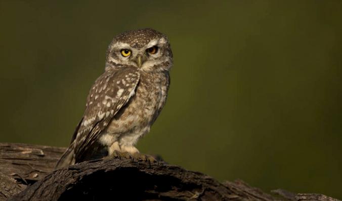 Spotted Owlet by Sudhir Shivaram - RAXA Collective
