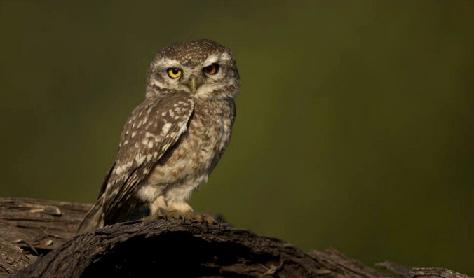 Spotted Owlet by Sudhir Shivaram - La Paz Group
