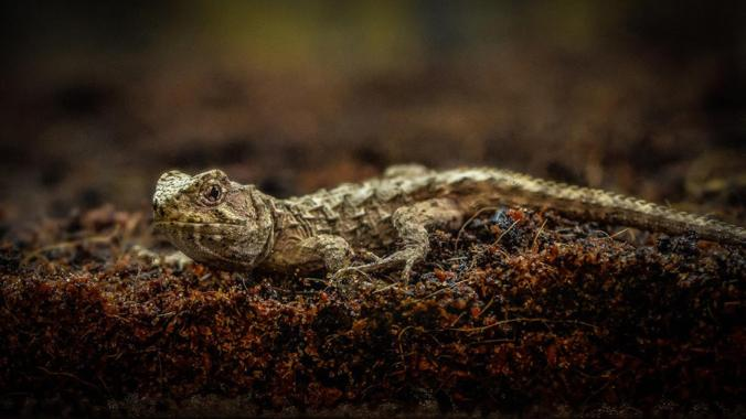 The first tuatara hatchling has been born outside of its native New Zealand. photo: Chester Zoo