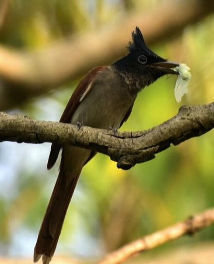 Asian Paradise flycatcher by Vijaykumar Thondaman - La Paz Group
