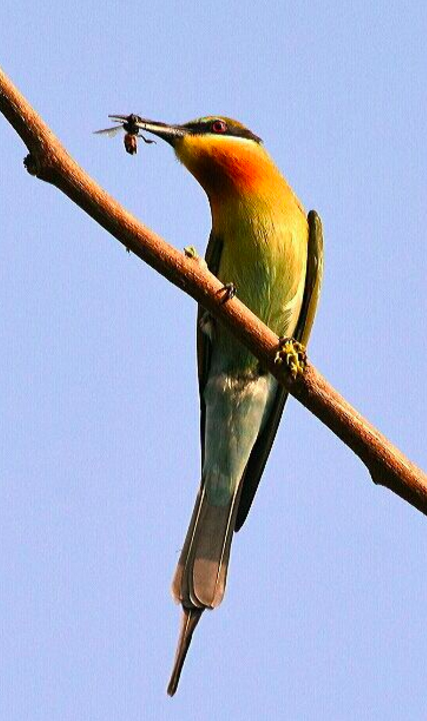 Blue Tailed Bee eater by Vijaykumar Thondaman - La Paz Group
