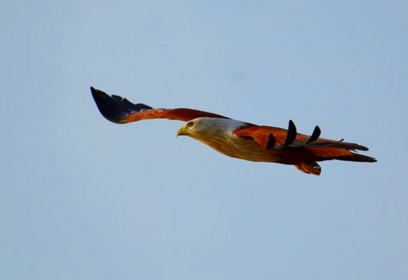 Brahminy Kite by Puneet Dhar - La Paz Group