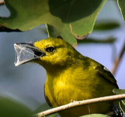 Common Iora by Vijaykumar Thondaman - La Paz Group