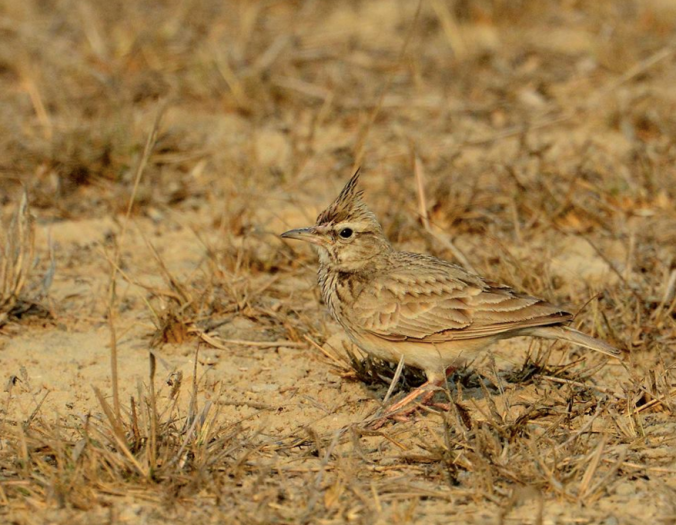 Crested Lark by Puneet Dhar - La Paz Group