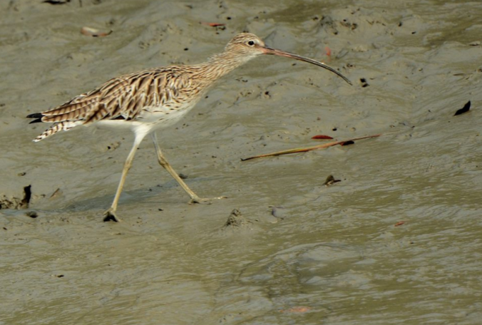 Eurasian Curlew by Puneet Dhar - La Paz Group