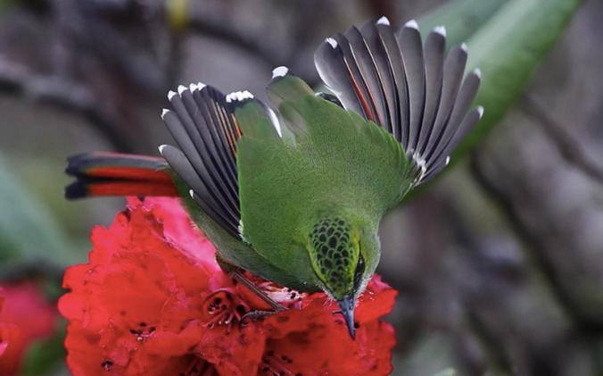 Fire-tailed Myzornis by Gururaj Moorching - La Paz Group