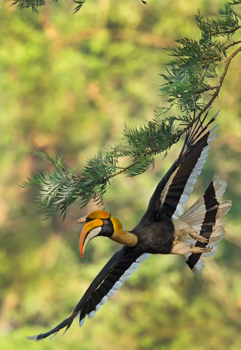 Great Indian Hornbill by Dr. Eash Hoskote - La Paz Group
