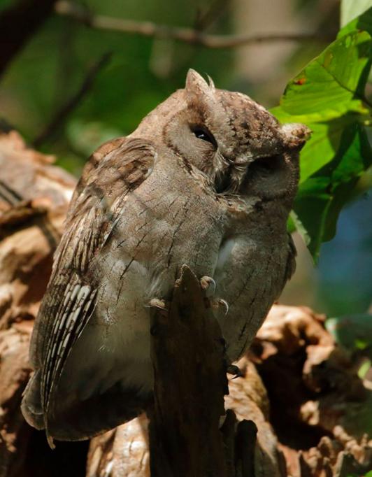 Indian Scops Owl by Gururaj Moorching - La Paz Group