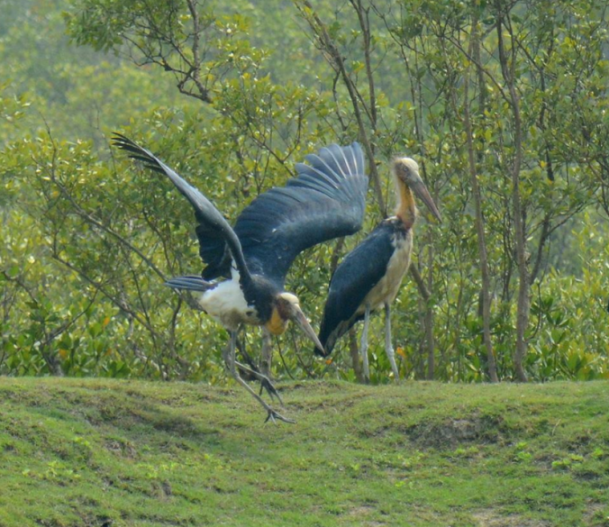Lesser Adjutant Storks by Puneet Dhar - La Paz Group