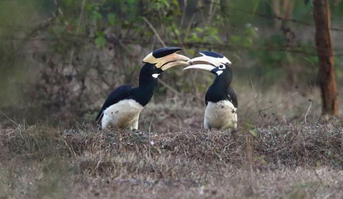 Malabar Pied Hornbill by Gururaj Moorching - RAXA Collective