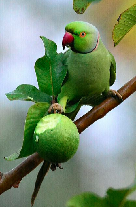 Rose-ringed Parakeet by Vijaykumar Thondaman - RAXA Collective