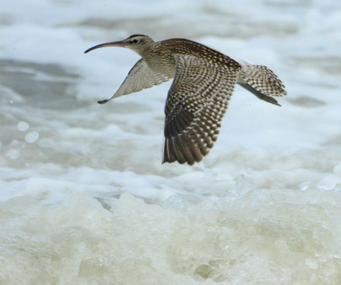 Whimbrel in flight by Puneet Dhar - La Paz Group