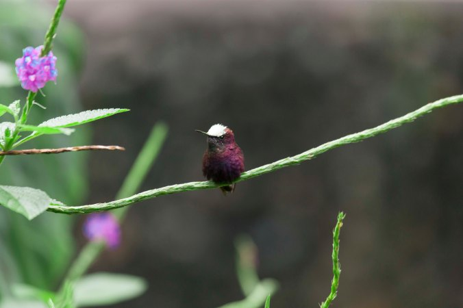 Snowcap hummingbird by Juan K Gamboa - La Paz Group