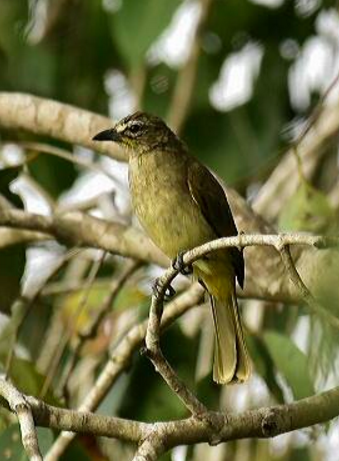 white browed Bulbul by Vijaykumar Thondaman - La Paz Group