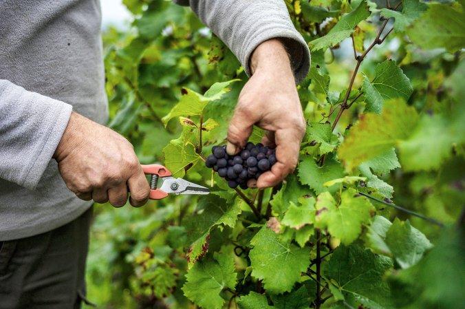 winegrapes_custom-24abb0a710e60f262997757c40bf35da573ab4f9-s1400-c85.jpg