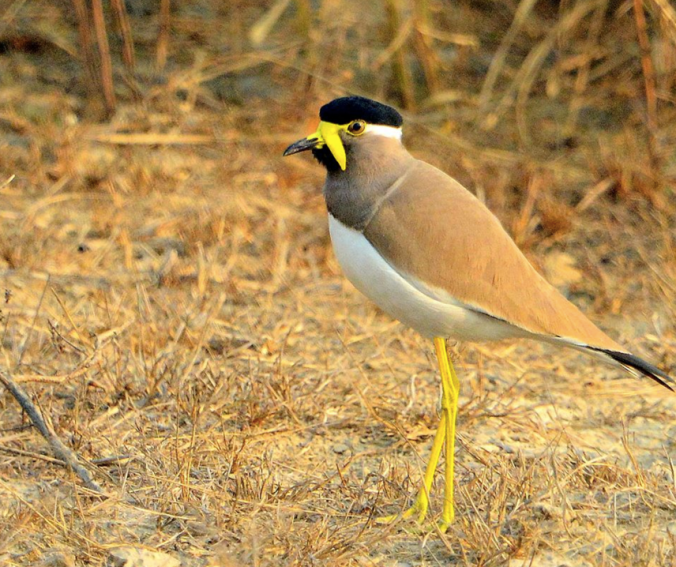 Yellow-wattled Lapwing by Puneet Dhar - La Paz Group
