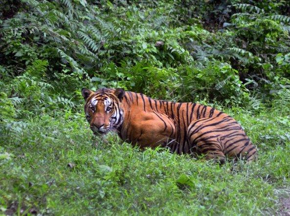 12xp-tigers-master675
