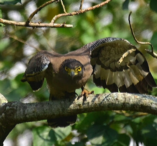 Crested Serpent Eagle by Vijaykumar Thondaman - La Paz Group