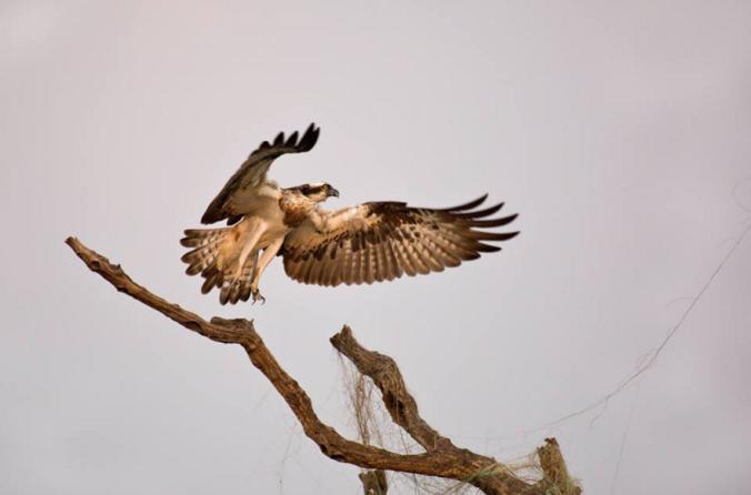 Osprey by Brinda Suresh - La Paz Group