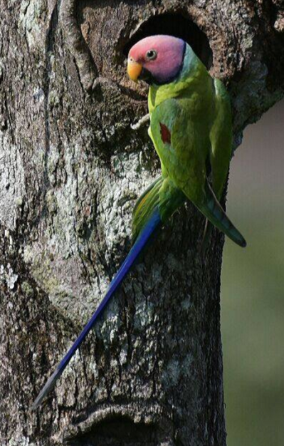 Plum-headed Parakeet - male by Vijaykumar Thondaman - La Paz Group