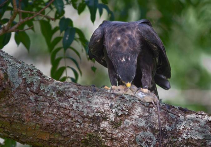 Black Eagle by Gururaj Moorching - La Paz Group