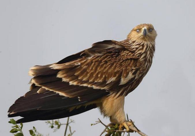 Eastern Imperial Eagle by Gururaj Moorching - La Paz Group