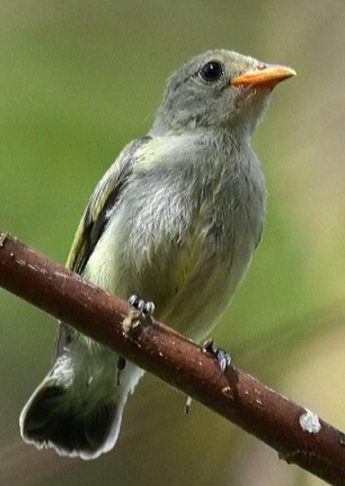 Pale-billed Flowerpecker by Vijaykumar Thondaman - La Paz Group