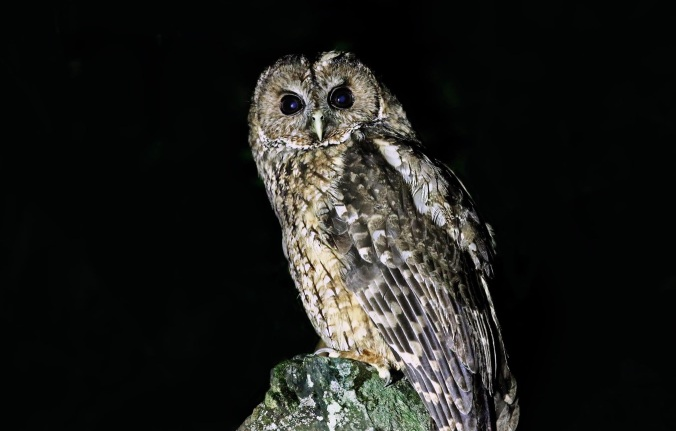 Himalayan Wood Owl by Gururaj Moorching - La Paz Group