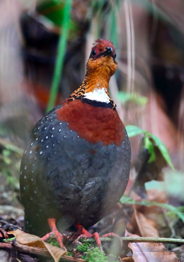 Chestnut-breasted Partridge by Gururaj Moorching - La Paz Group